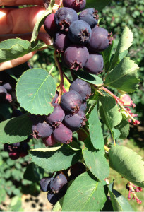 Delicious serviceberries